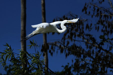 outspread: Great white egret flying with a dark blue sky and shrubs in the background. Its wings are outspread as it flies over a swamp in Florida. Scientific name is Ardea alba. Stock Photo