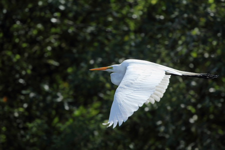 outspread: Great white egret flying with dark green shrubs in the background. Its wings are outspread as it flies over a swamp in Florida. Scientific name is Ardea alba.