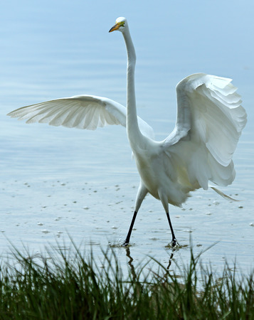 Great white egret standing with wings outspread at Fort DeSoto State Park, Florida. Scientific name is Ardea alba.