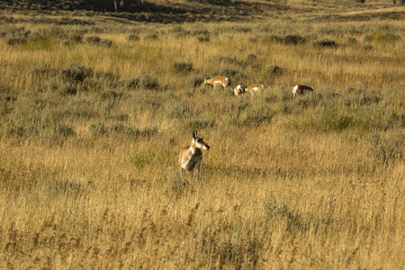 jackson: Small herd of pronghorns grazing in a field of grasses in Jackson Hole, Wyoming. Stock Photo