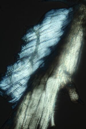crane fly: Polarization micrograph of muscle fibers from a crane fly, taken at 100x. Striated muscle tissue is highly birefringent and glows in polarizing microscopy. Stock Photo