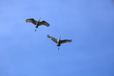 outspread: Two sandhill cranes flying in a blue sky over central Florida in spring. Scientific name is Grus canadensis.