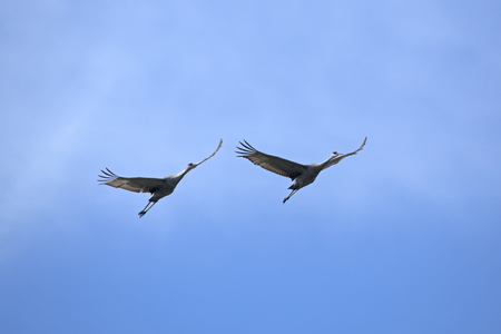 gulf of mexico: Two sandhill cranes flying in a blue sky over the Gulf of Mexico at Ft. DeSoto State Park in St. Petersburg, Florida. Stock Photo