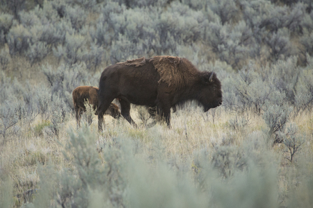 sagebrush: Bison calf walks with its mother in the sagebrush grasslands of the Lamar Valley in Yellowstone National Park, Wyoming.