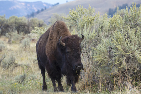 facing on camera: Single large bison, facing camera, grazing among shrubs in the plains of the Lamar Valley in Yellowstone National Park, Wyoming. Stock Photo