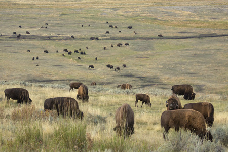 sagebrush: Herd of bison grazing in the sagebrush plains of the Lamar Valley in Yellowstone National Park, Wyoming. Stock Photo