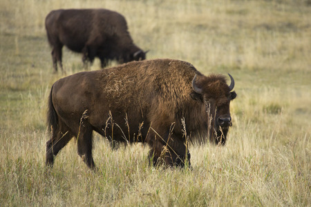 conservation grazing: Large adult bison, side view with head turned toward camera, and one smaller bison in back, browsing in the Lamar Valley of Yellowstone National Park, Wyoming. Stock Photo