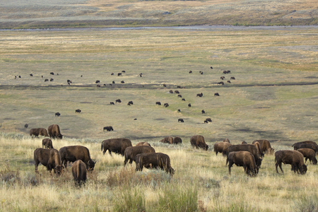 conservation grazing: Herd of bison grazing in the sagebrush plains of the Lamar Valley in Yellowstone National Park, Wyoming, with the Lamar River in the background. Stock Photo