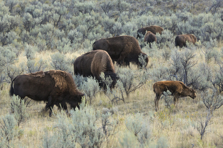 sagebrush: Part of a herd of bison, including a young calf, grazing in line in the sagebrush plains of the Lamar Valley in Yellowstone National Park, Wyoming. Stock Photo
