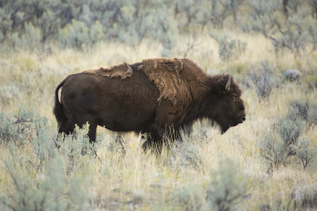 sagebrush: Adult bison, with ragged fur, stands in the grassy sagebrush meadows of Lamar Valley in Yellowstone National Park, Wyoming. Stock Photo