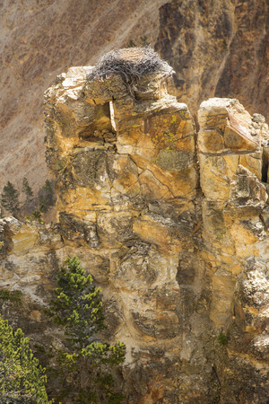 eagle nest rock: Eagles nest on top of near wall of a steep drop into the Grand Canyon of the Yellowstone River, with pink cliffs on the opposite shore.