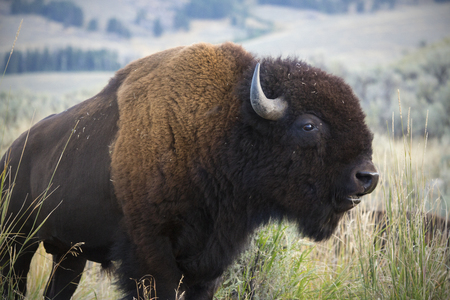 Enige grote bizon, in majestueus zijaanzicht, die zich in de grasrijke vlaktes van de Lamar-Vallei bevinden, kauwend, in Nationaal Park Yellowstone, Wyoming.