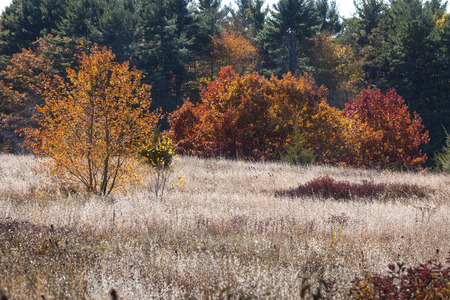 Telephoto view of open field with white fruits of fall wildflowers, shrubs and trees, some with fall foliage colors, in Mansfield Hollow, Connecticut.