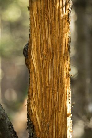 カヌートのサドルバック山近く北部メイン州でここに見られる、その角を離れてビロードをこすりムース製黄色白樺樹皮の傷のクローズ アップ。 写真素材