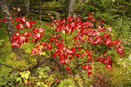 acer: Colorful leaves of a single red maple shrub, Acer rubrum, on a rainy fall day in the woods of northern Maine near Rangeley. Stock Photo