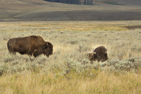 sagebrush: Two bison in sagebrush meadow, one lying down, one standing, in Yellowstone National Park, Wyoming.