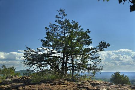 Eastern red cedar, Juniperus virginiana, near summit of Ragged Mountain, Berlin, Connecticut. Reddish basalt rock, or traprock of volcanic origin, in foreground.