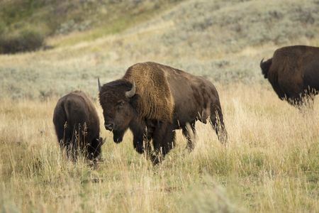 conservation grazing: Group of large bison, with one magnificent bull in center, grazing among grasses in the plains of the Lamar Valley in Yellowstone National Park, Wyoming.