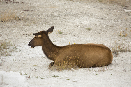 the deposits: Female elk (Cervus canadensis) lying down and resting in lime deposits of Mammoth Hot Springs in Yellowstone National Park, Wyoming.