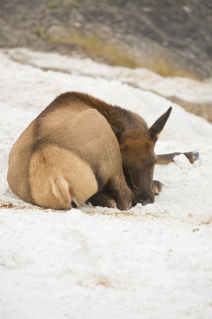curled up: Female elk (Cervus canadensis) lying down and resting, curled up in a ball, in lime deposits of Mammoth Hot Springs in Yellowstone National Park, Wyoming.