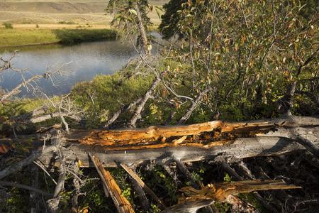 duramen: duramen de color naranja del árbol de pino muerto en la orilla del río Lamar en el Parque Nacional de Yellowstone, Wyoming. Foto de archivo