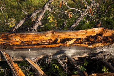 duramen: Primer plano de duramen de color naranja del �rbol de pino muerto en la orilla del r�o Lamar en el Parque Nacional de Yellowstone; Wyoming. Foto de archivo