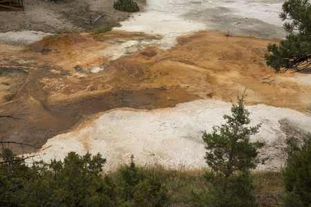 hydrothermal: Colorful, orange geothermal streams and pools of hot water with carbonate ridges, bordered by pine trees, overlying the white travertine rock of Mammoth Hot Springs in Yellowstone National Park, Wyoming.