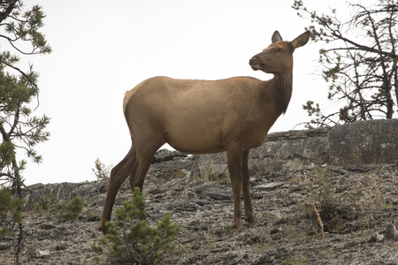 Female elk (Cervus canadensis) standing alert with head turned far right and ears back, grazing in Yellowstone National Park, Wyoming. Stock Photo