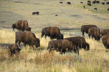 Herd of bison grazing in the sagebrush plains of the Lamar Valley in Yellowstone National Park, Wyoming.
