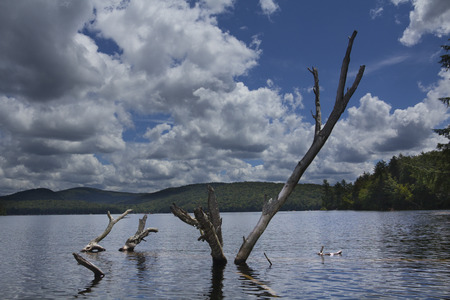 adirondack: Weathered branches of fallen tree emerge from water, with sunny blue sky, Limekiln Lake, Adirondack Mountains, New York.