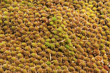 Tufted, red and green heads of peat moss, Sphagnum warnstorfii, in woods, Sunapee, New Hampshire. Reklamní fotografie - 67736939