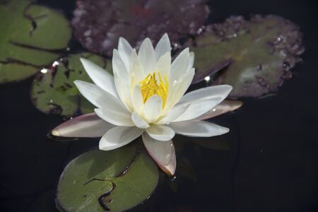 nymphaea odorata: White water lily, Nymphaea odorata, with leaves, dark water, on Moose River, Adirondack Mountains, New York. Stock Photo