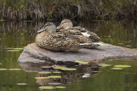 shorelines: Two blue-winged teals, Anas discors, sitting on a rock, male and female, in Limekiln Lake, Adirondack Mountains, New York. Stock Photo