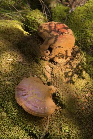 Hemlock varnish shelf fungi, Ganoderma tsugae, with dense dusting of brown spores, in woods, Sunapee, New Hampshire. Stok Fotoğraf
