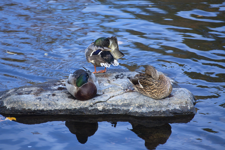 Three male and female mallard ducks, Anas platyrhynchos, rest and preen on a rock in the Farmington River, Connecticut. Banco de Imagens