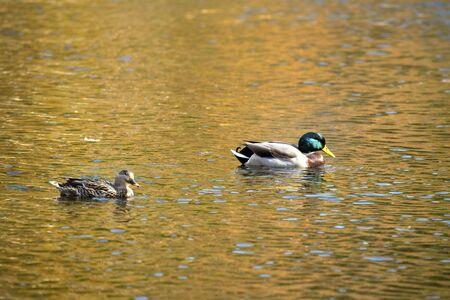 A pair of mallard ducks, Anas platyrhynchos, floats on waters of the Farmington River in Canton, Connecticut.