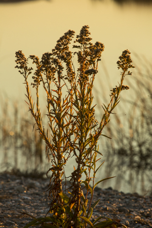 Seaside goldenrod, Solidago sempervirens, in autumn with glow of sunset at Milford Point, Connecticut. Stock Photo