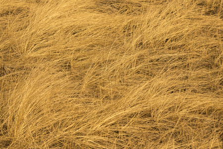 Abstract golden fibers of beach grass, Ammophila, in digitally manipulated graphic.