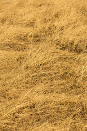 Abstract golden fibers of beach grass, Ammophila, in digitally manipulated micrograph at 100x.