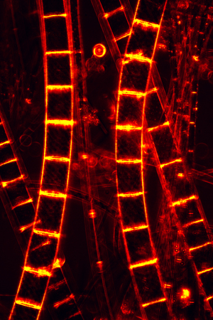 rungs: Dark image of filamentous algae glowing red like rungs on a ladder, in an abstract micrograph at 100x with polarization.