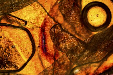 snake skin: Colorful, abstract micrograph of snake skin, with polarization at 100x.