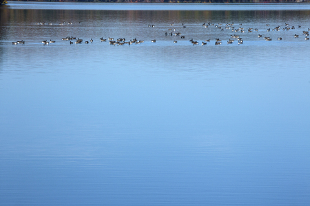 hartford: Flock of Canada geese, Branta canadensis, on West Hartford Reservoir, Connecticut.
