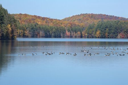 Flock of Canada geese, Branta canadensis, and colorful autumn forests of West Hartford Reservoir, Connecticut. Stock Photo