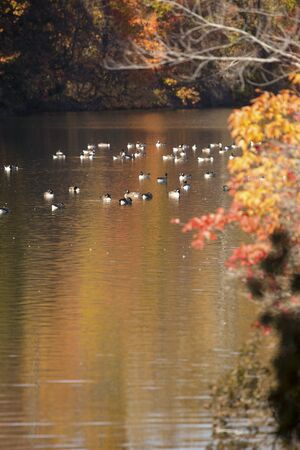 Flock of Canada geese float on waters of West Hartford Reservoir in Connecticut, which is reflecting bright autumn foliage.