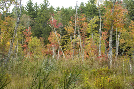 wetland conservation: Subtle fall colors in swamp of Bigelow Hollow State Park in Union, Connecticut.