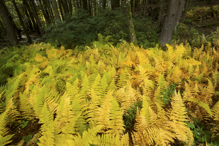 Brilliant orange and yellow autumn leaves of hayscented ferns, Dennstaedtia punctilobula, in Bigelow Hollow State Park in Union, Connecticut. Stock fotó