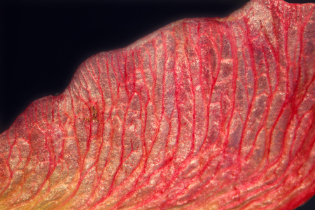 Seed wing of a red maple tree, the maple key, in a micrograph showing dramatic red veins at 10x. The veins of the seed wing look like blood vessels.