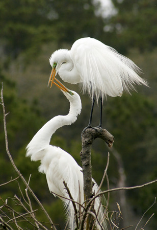 Two great white egrets with bills open showing mating behavior in a nest at a rookery in Harris Neck National Wildlife Refuge, Georgia.  Scientific name is Ardea alba. Stok Fotoğraf