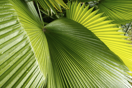 Palm leaves in south Florida. The sunlight and lines on the leaves make a nature abstract.