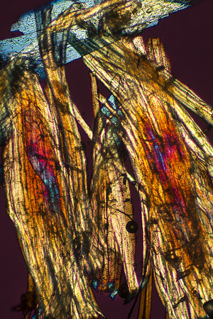striated: Muscle fibers that drive the wings of a bumble bee. Polarization microscopy taken at 100x. These are striated muscle cells.